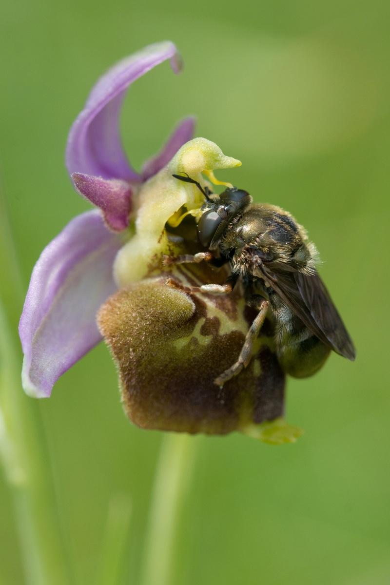 Festival de lusi sur Ophrys fuciflora Dsc_9421