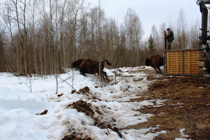 В «Смоленском поозерье» будут разводить зубров 320