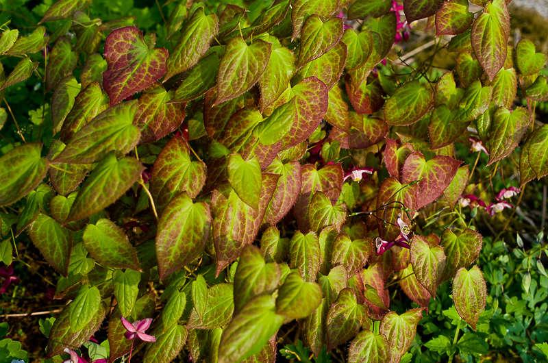 Quelques euphorbes et autres petites fleurs de printemps Epimed11