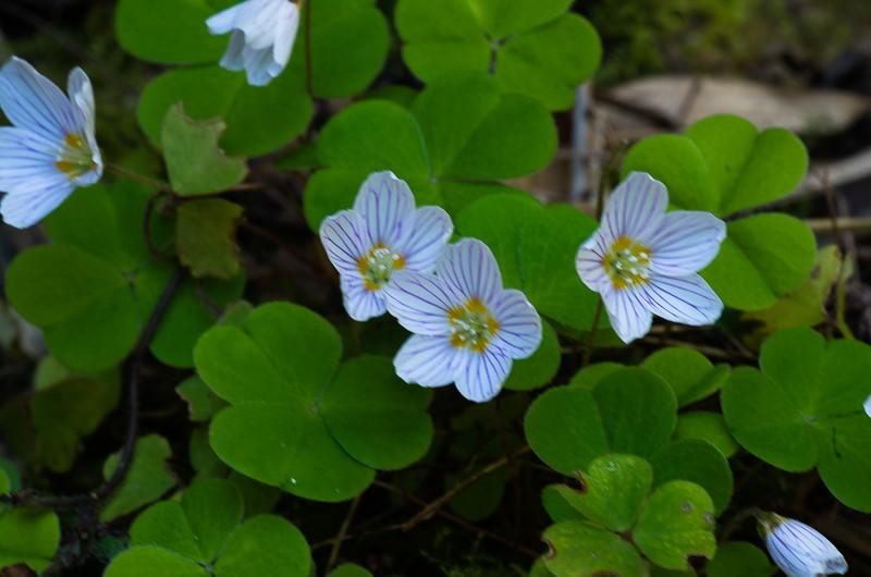 Quelques euphorbes et autres petites fleurs de printemps Oxalis10