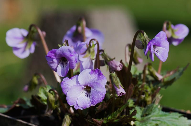 viola,violette Viola_10
