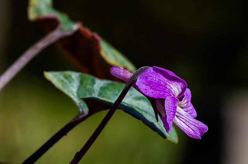 viola,violette Viola_13