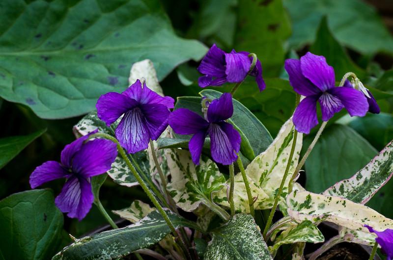 viola,violette Viola_14