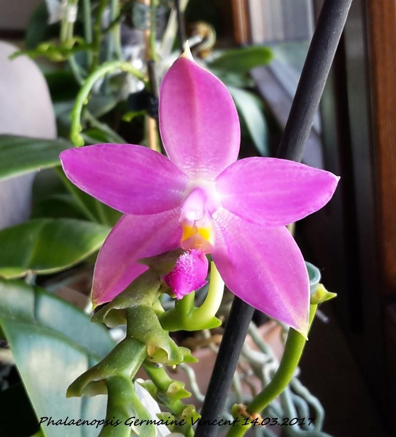 Phalaenopsis tetraspis x violacea (Jennifer Palermo) oder Phal. speciosa x violacea (Germaine Vincent) - Seite 3 20170320