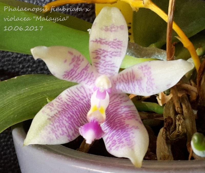 Phalaenopsis fimbriata x violacea 'Malaysia' 20170615