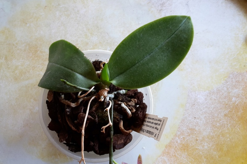 Phalaenopsis violacea x finleyi 20170619