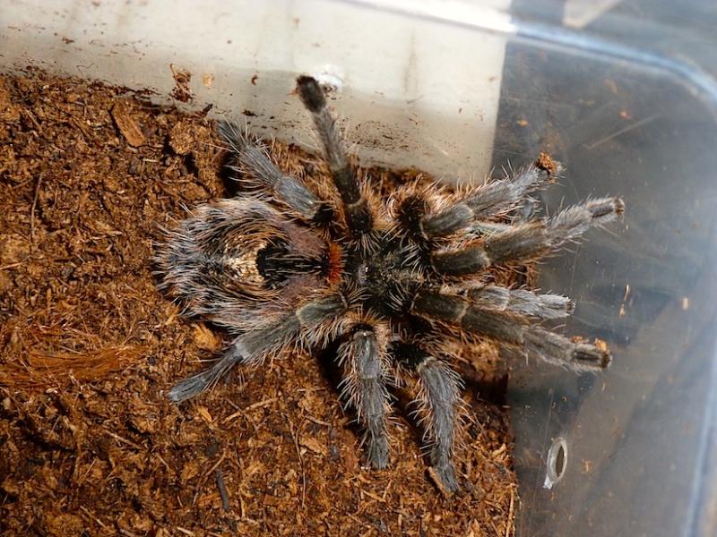 Euathlus truculentus P1020921