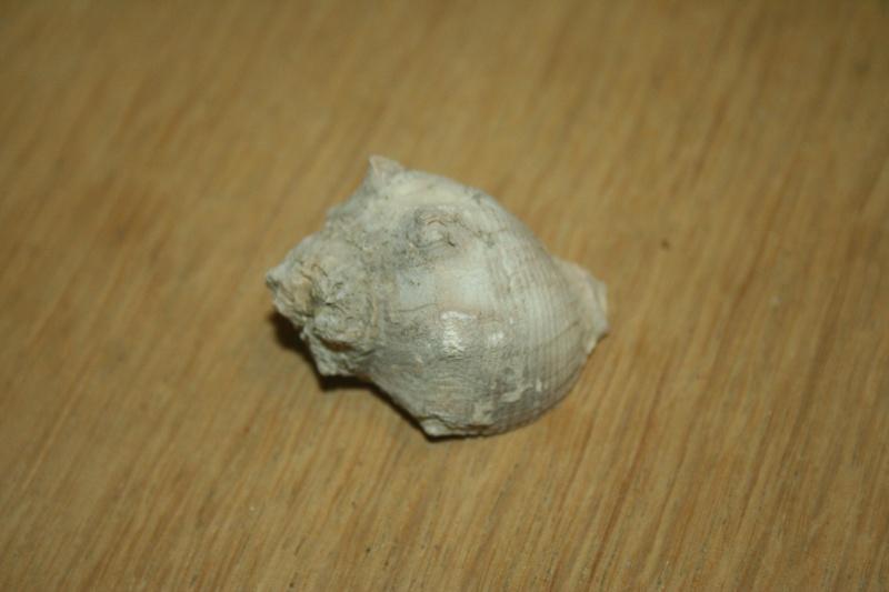 Muricidae - † Thaisella chocolata (Duclos, 1832) - Pérou Img_0710