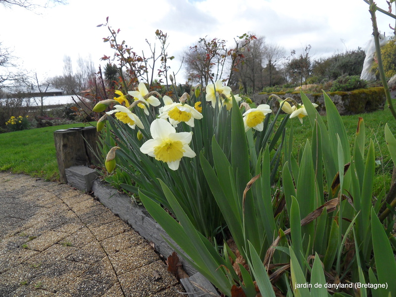 Jonquille, Narcisse - Page 8 05-sdc10