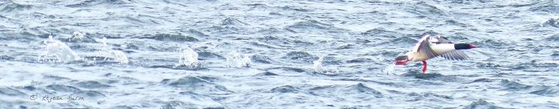 Canard Grand harle mâle P1450710
