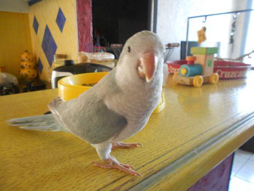 Paulie, perruche souris, quaker, conure veuve Photo_10