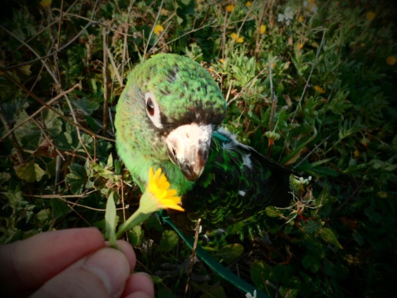 1 ère sortie de mon perroquet de jardine, Holy Sam_1712