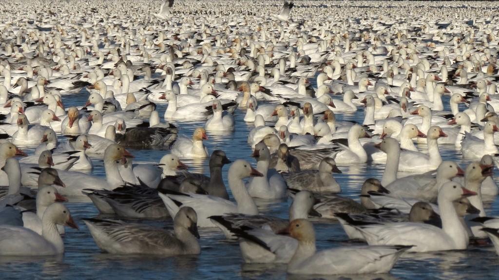 Oies des neiges réservoir Beaudet Img_4010