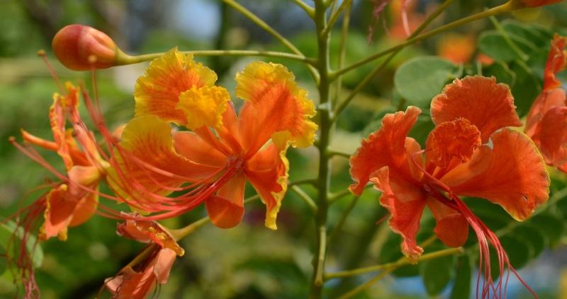Flamboyant Nain Orange  Fleure10