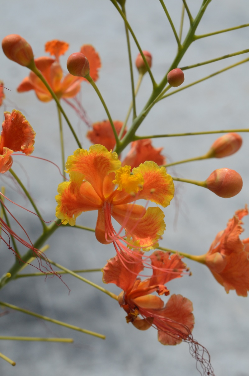 Flamboyant Nain Orange  Fleure12