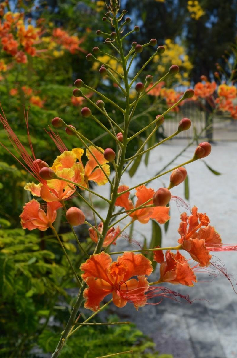 Flamboyant Nain Orange  Fleure13