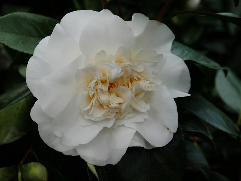 Camellia - Kamelien - Seite 2 P1000610