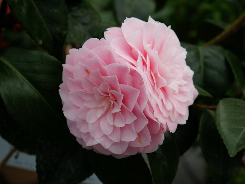 Camellia - Kamelien - Seite 2 P1000611