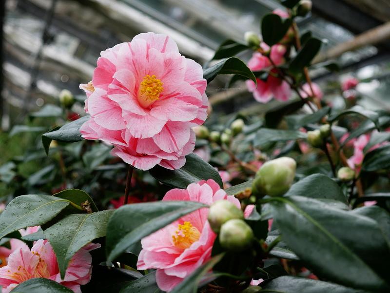 Camellia - Kamelien - Seite 2 P1000613