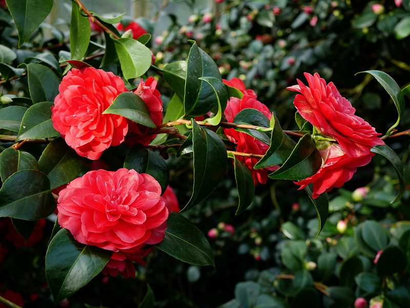 Camellia - Kamelien - Seite 2 P1000619