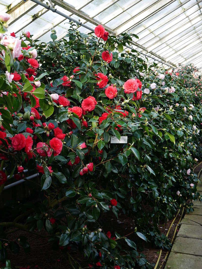 Camellia - Kamelien - Seite 2 P1000623