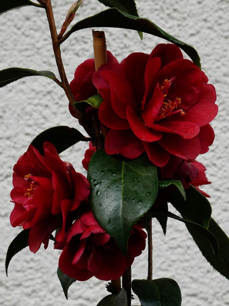 Camellia - Kamelien - Seite 4 P1000710