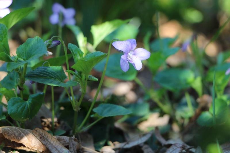 viola,violette Img_0520