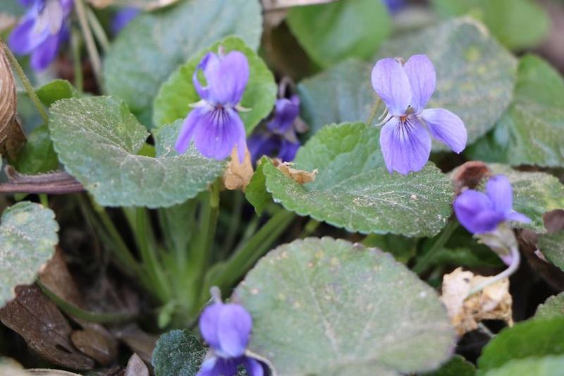 viola,violette Img_0522