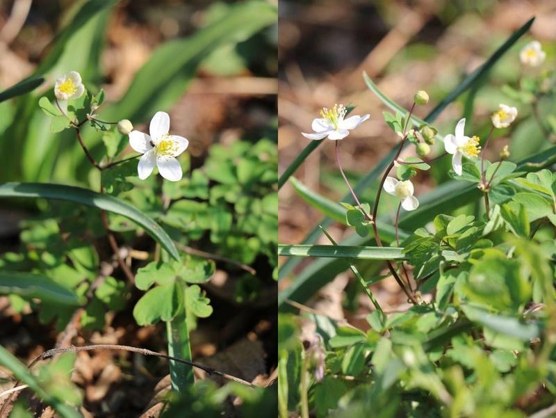 Quelques euphorbes et autres petites fleurs de printemps Img_0534
