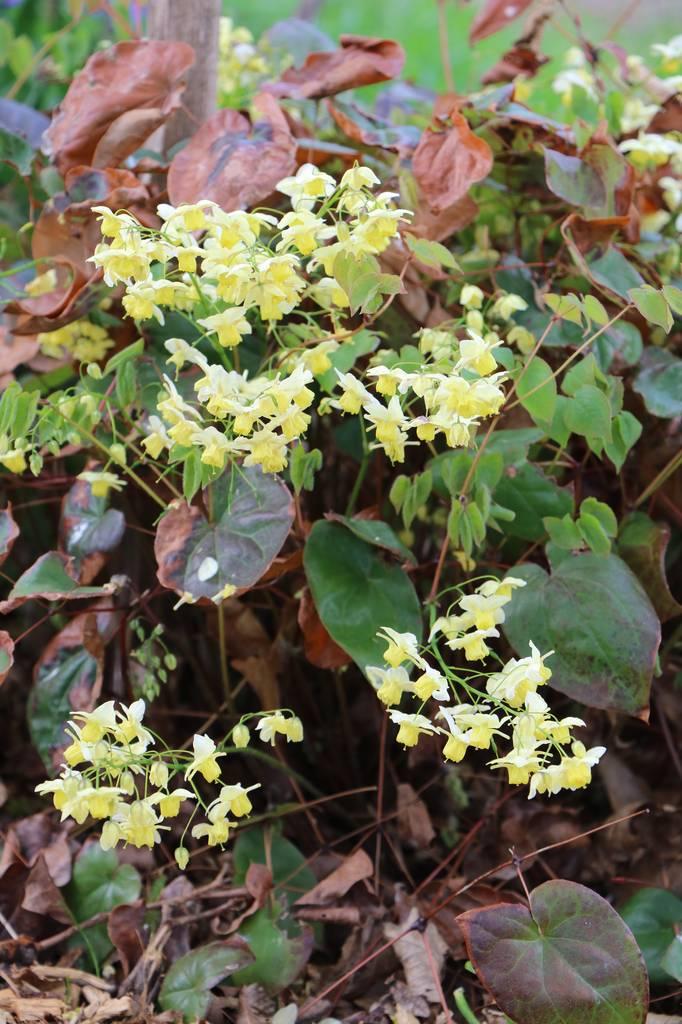 Quelques euphorbes et autres petites fleurs de printemps Img_0621