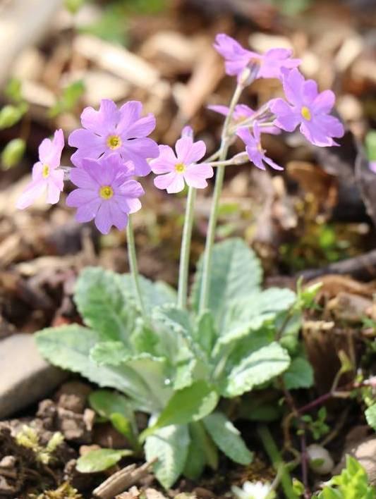 Quelques euphorbes et autres petites fleurs de printemps Img_0622