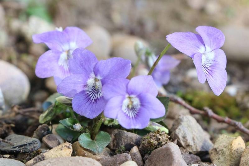 viola,violette Img_0710