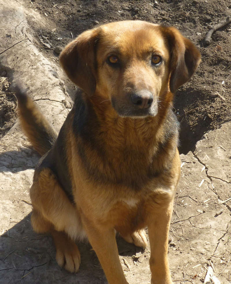 JELLY (ex JERRY) F-X, taille moyenne, env. 20 kg, née 2011 (BACKA) - Prise en charge SPA Pontarlier Jerry210