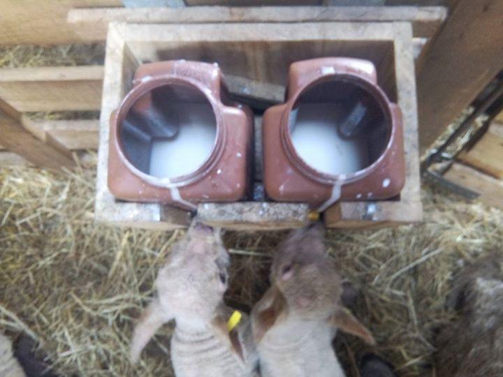 Installation de la louve et allaitement en nombre 17201110