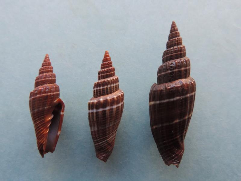Vexillum subdivisum - (Gmelin, 1791) Dscn8510