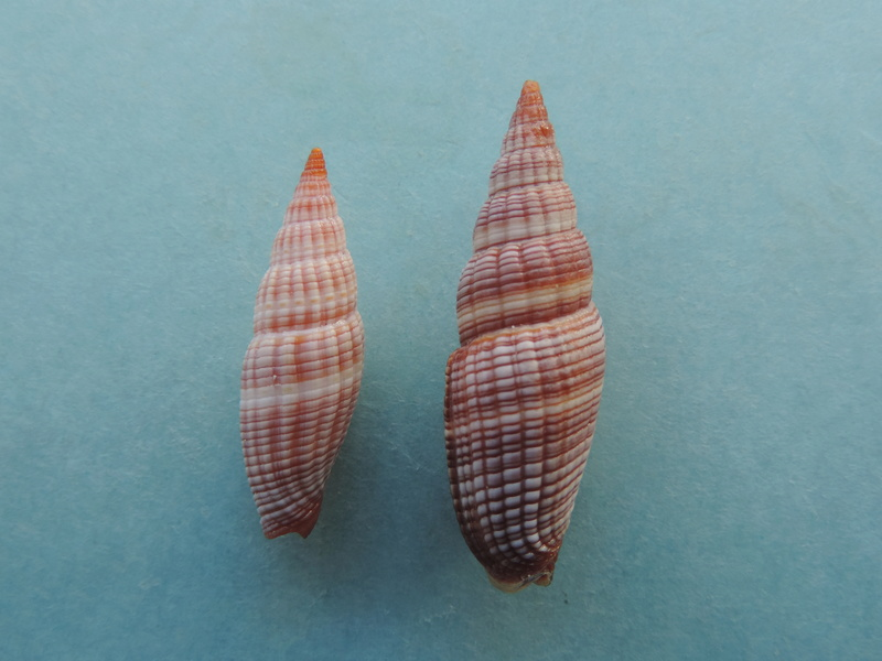 Vexillum granosum - (Gmelin, 1791) Dscn8511