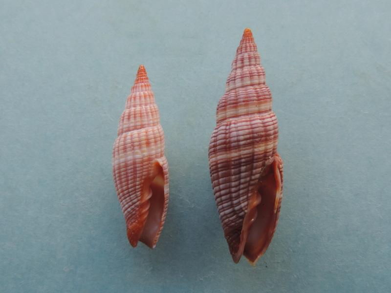 Vexillum granosum - (Gmelin, 1791) Dscn8512