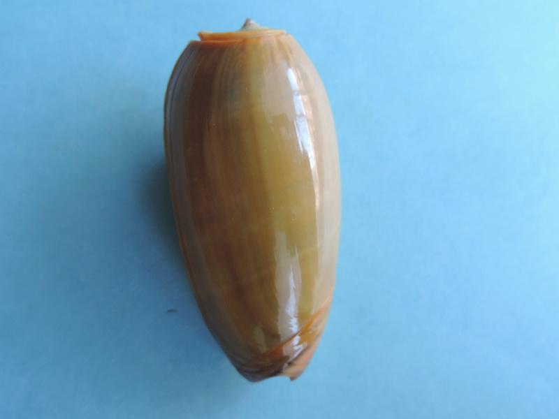 Viduoliva vidua f. cinnamonea (Menke, 1830) Dscn8522