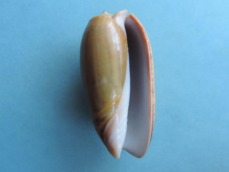 Viduoliva vidua f. cinnamonea (Menke, 1830) Dscn8523