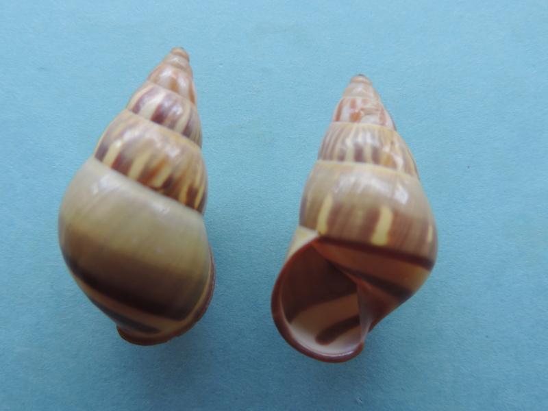 Amphidromus quadrasi f. dubius palawanensis ( Bartsch, 1917) Dscn8914