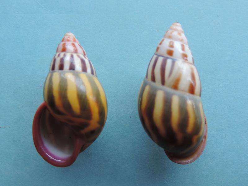 Amphidromus latestrigatus (Schepman, 1892) Dscn8915