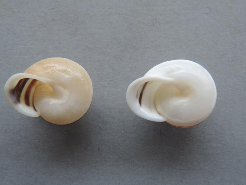 Planispira exceptiuncula (Ferussac, 1821) Dscn8917