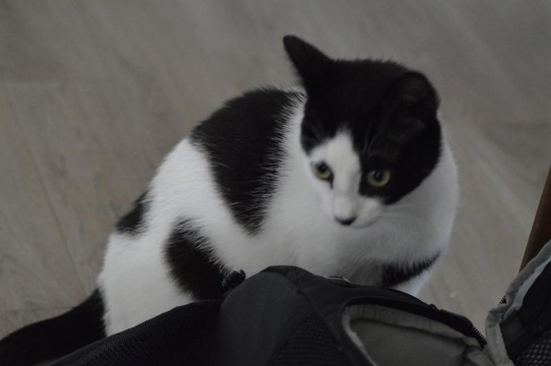 Malia, femelle type européen blanche et noire née 01/10/2016 18238710