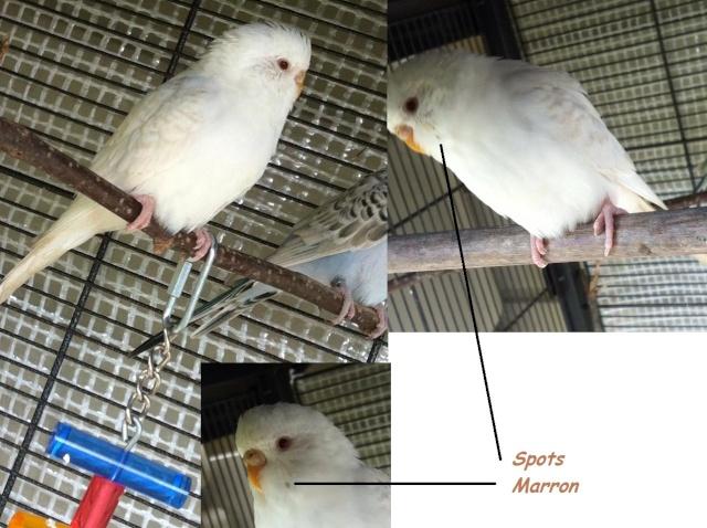 perruche albinos avec du marron sur les ailes 10172710
