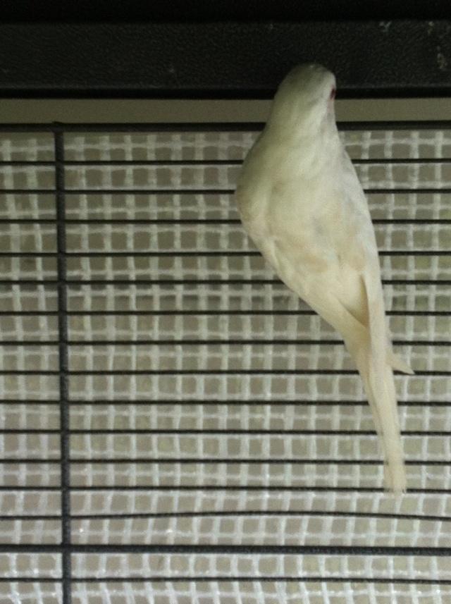 perruche albinos avec du marron sur les ailes Img_2511