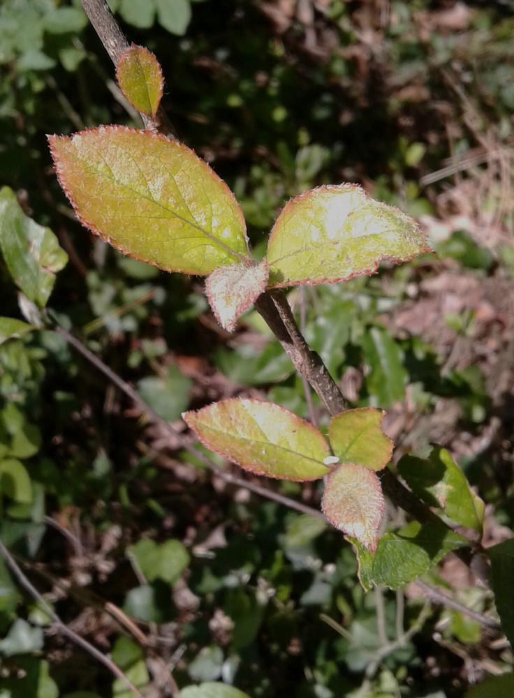 Photinia villosa ? [identification à suivre] 20170510