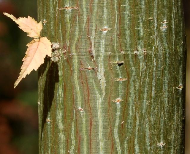 Acer capillipes  Acer_d11