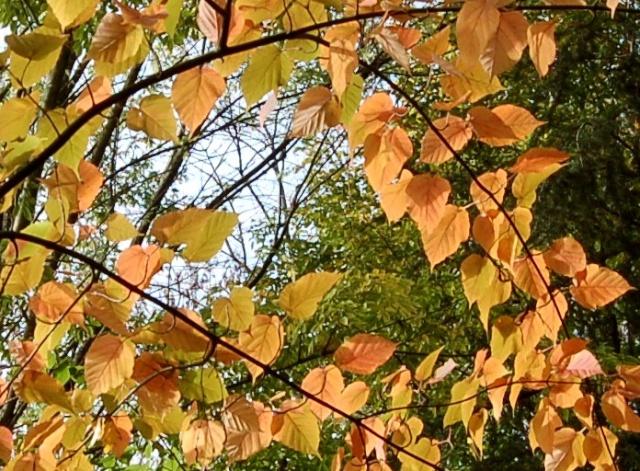 Acer capillipes  Acer_d13