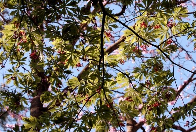 Acer japonicum 'Aconitifolium' Acer_j10