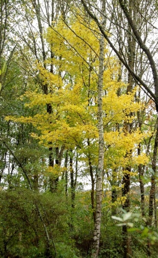 Acer campestre - érable champêtre Acer_m10